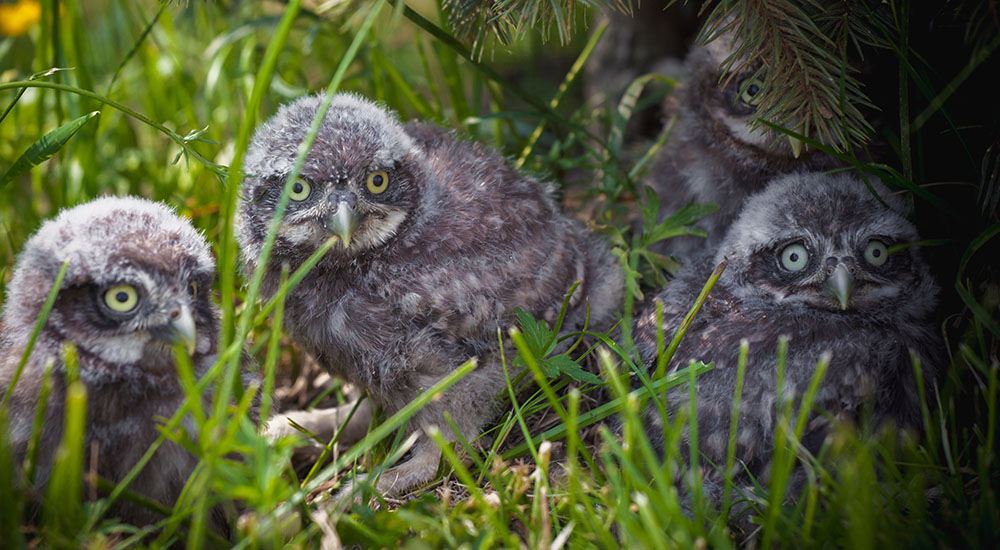 4 Owlets In The Grass - My Inner Owl
