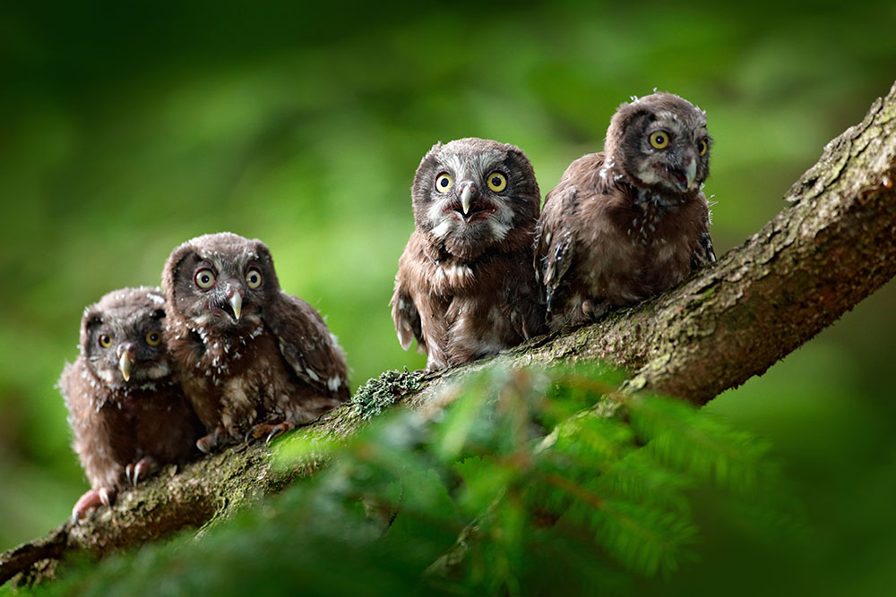 Young Boreal Owls - My Inner Owl
