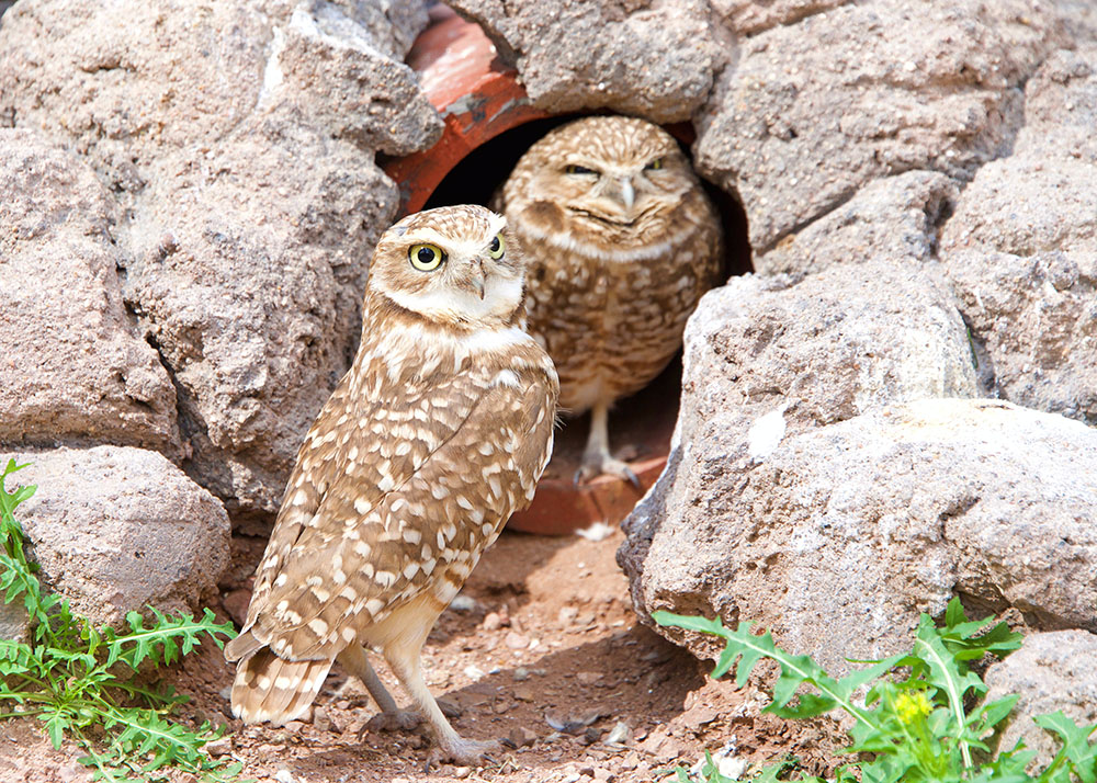 Two Burrowing Owls - My Inner Owl
