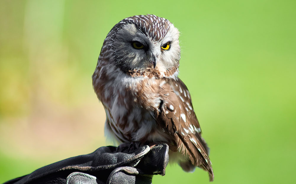 Northern Saw-Whet Owl - My Inner Owl